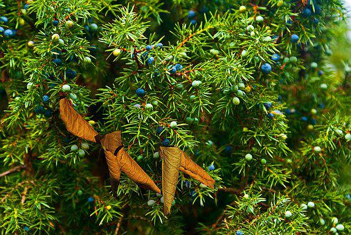 Juniper, Juniper Fruit, Fruiting, Autumn