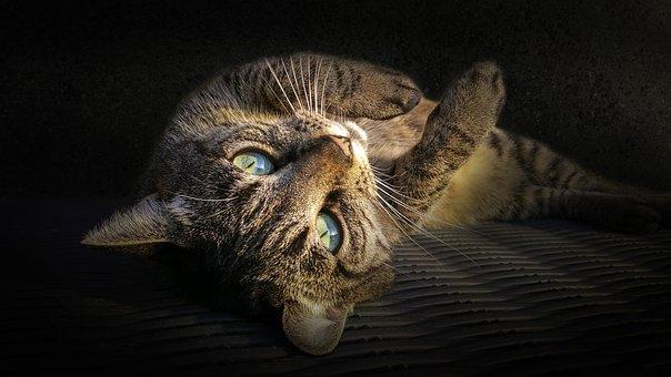 Cat, Kitty, Pet, Animal, Cute, Kitten, Domestic, Feline