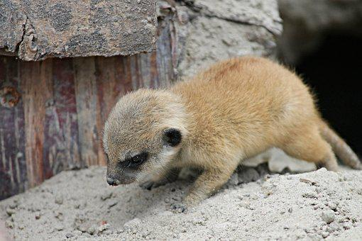 Meerkat, Young, Young Animal, Small, Child, Baby