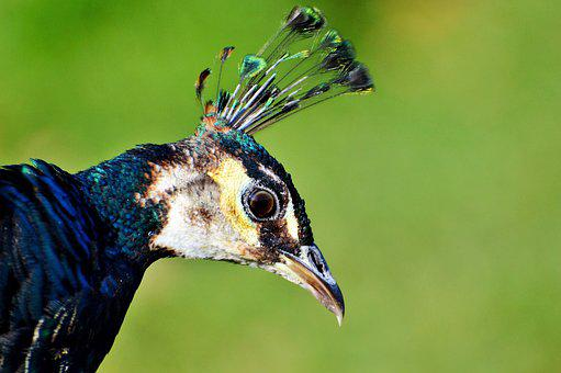 Bird, Peacock, Peacock Feathers, Bill, Feather, Pride