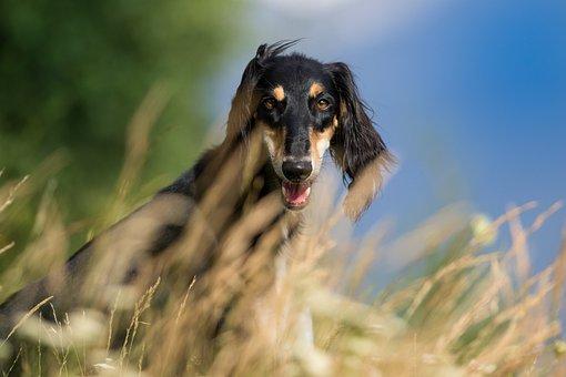 Dog, Pet, Pets, Saluki, Hairy, Nature, Greyhound