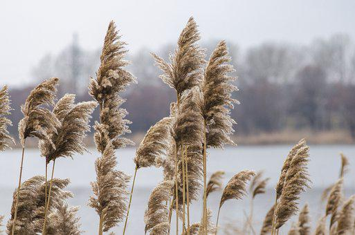 Reed, Lake, Stalks, Withered, Yellow, Nature, Swamp
