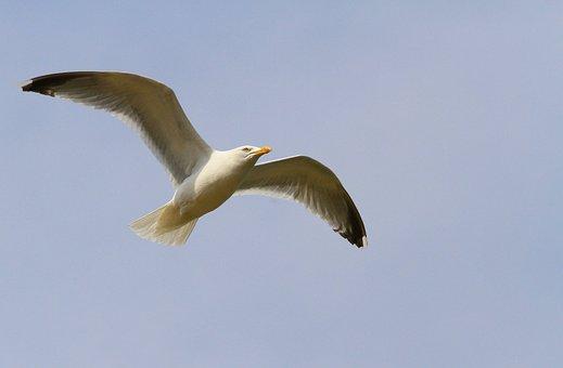 Gull, Bird, Seabird, Bird Flight, White Seagull, Wings