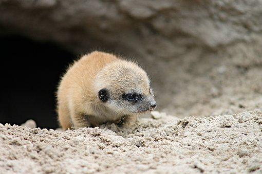 Meerkat, Young, Young Animal, Small, Animal Child