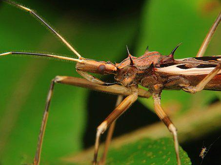 Assassin, Bug, Wheel, Proboscis, Insect, Insects