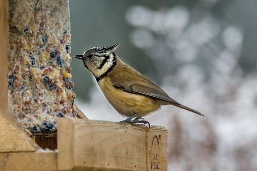 Nature, Bird, Small, Animal World, Crested Tit, Aviary