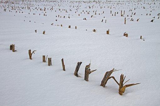 Corn, Strunk, Cornfield, Cut Corn, Snow, Winter, Cold