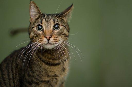 Cat, Animal, Domestic Cat, Tabby, Cat's Eyes, Mustache