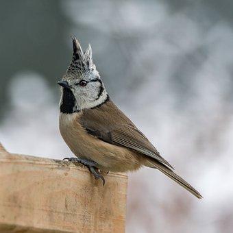 Animal World, Bird, Nature, Animal, Small, Crested Tit
