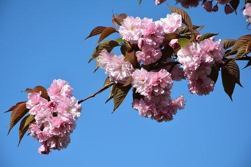 Flower, Tree, Plant, Nature, Cherry, Leaves, Garden