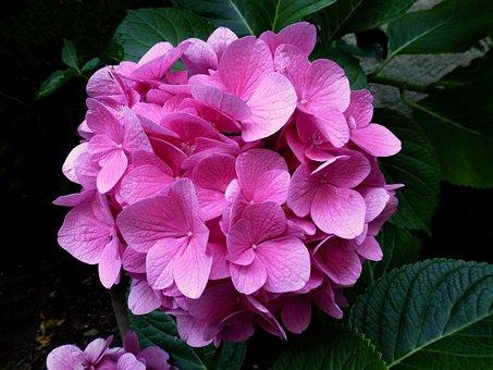 Hydrangea, Pink, Flower, Close Up, Garden, Nature