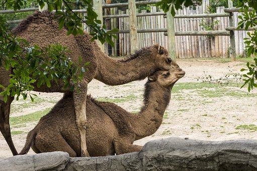 Nature, Mammal, Animal, Outdoors, Wildlife, Camel