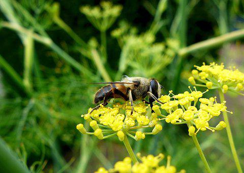 Nature, Insect, Close, Bee, Parsnip