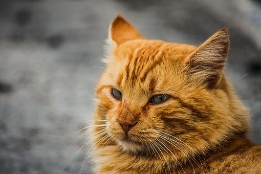 Animal, Cat, Stray, Red, Cute, Mammal, Fur, Portrait