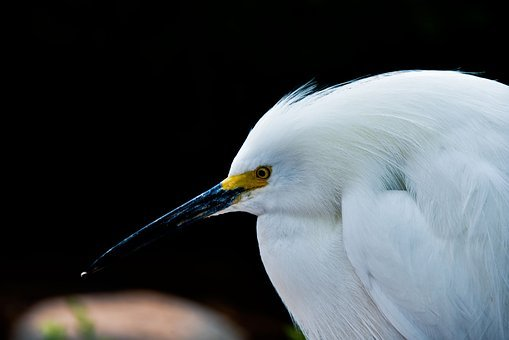 Bird, Wildlife, Nature, Feather, Wing, Snowy Egret