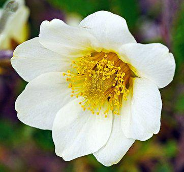 Alpine Anemone, Blossom, Bloom, Lush, Flower, Nature