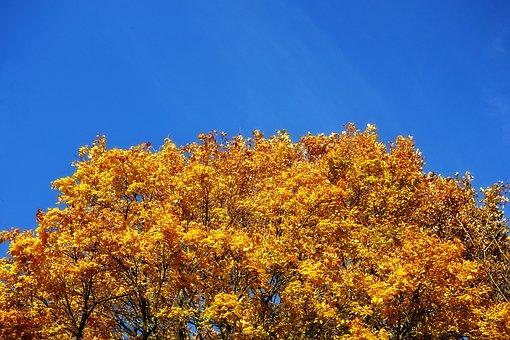 Tree, Tree Top, Autumn Tree, Foliage, Autumn Foliage