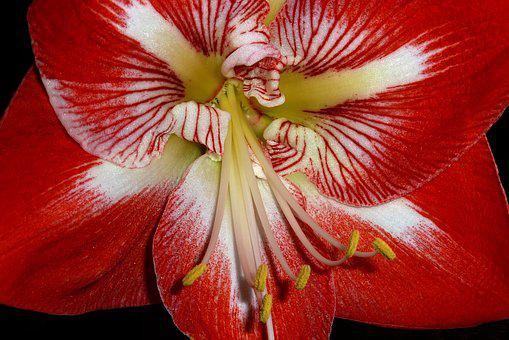 Amaryllis, Flower, Red, Close Up, Petal, Nature, Plant