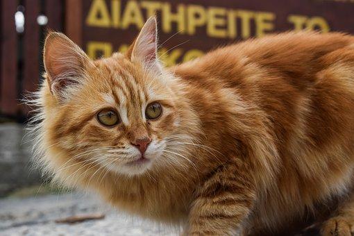 Animal, Cat, Cute, Portrait, Stray, Red, Mammal, Fur