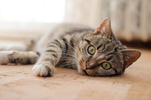 Cat, Kitten, Bury Cat, Domestic Cat, Animal, Lying Cat