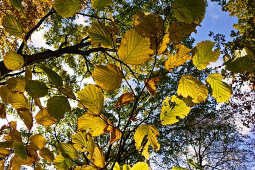 Tree, Branch, Leaves, Autumn Leaves, Foliage