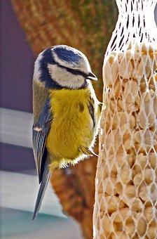 Tit, Feeding, Grains, Depot, Home Garden, Bird, Nature
