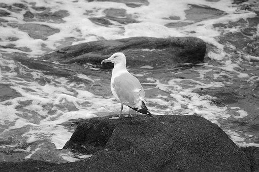 Body Of Water, Sea, Roche, Nature, Side, Bird, Gull