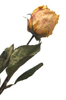 Yellow, Rose, Faded, Leaves, Separation, Single, Macro