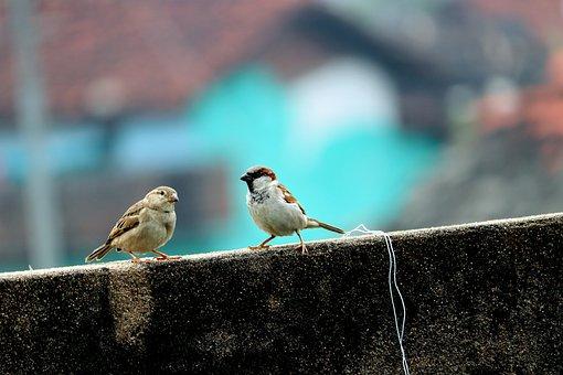 Sparrow, Female, Male, Birds, Wall