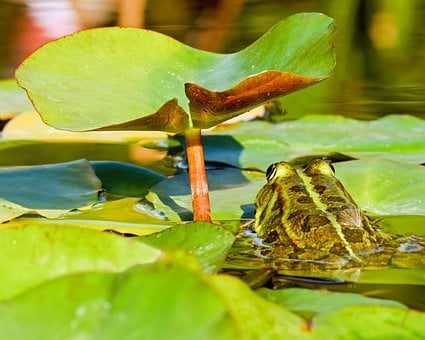Frog, Water Frog, Frog Pond, Animal, Green