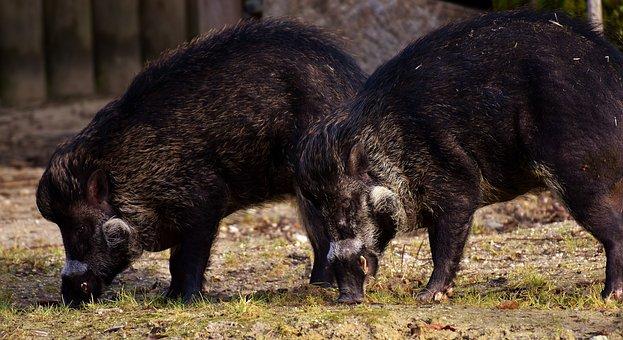 Wild Boars, Wild Animals, Pig, Animal, Bristles, Nature