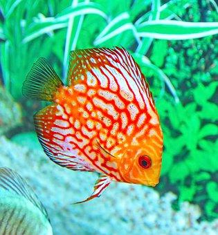 Fish, Aquarium, Underwater, Tropical, Aquatic, Tank