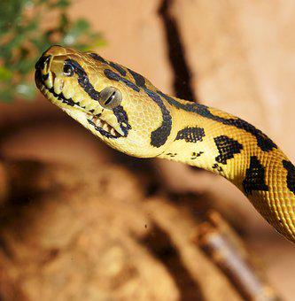 Snake, Reptile, Python, Diamond Python, Carpet Python