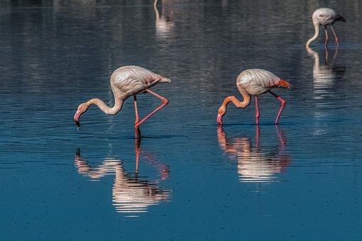 Flamingo, Bird, Wildlife, Animal, Water, Nature