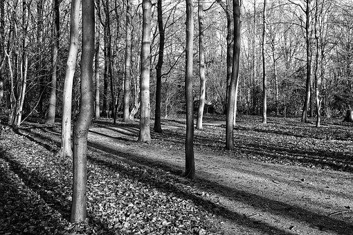 Forest, Trees, Slender Trees, Trunks, Shadows