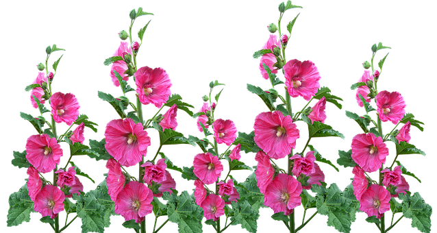 Hollyhocks, Flowers, Garden, Blooming, Cut Out