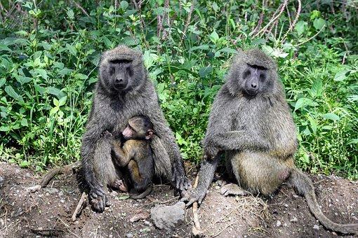 Wildlife, Mammal, Monkey, Primate, Nature, Kenya