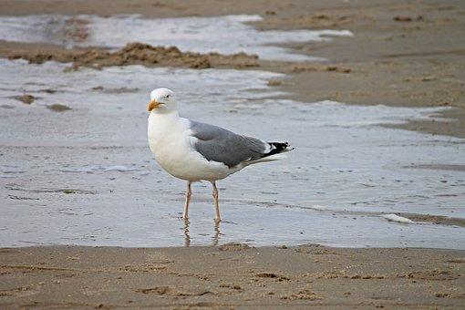 Herring Gull, Beach, Seevogel, Larus Argentatus, Bird