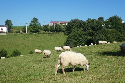 Sheep, Lawn, Prairie, Field, Macaye, Atlantic Pyrenees