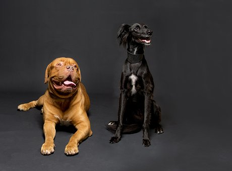 Dogs, Studio, Low-key, Canine, Animal, Pet-portrait