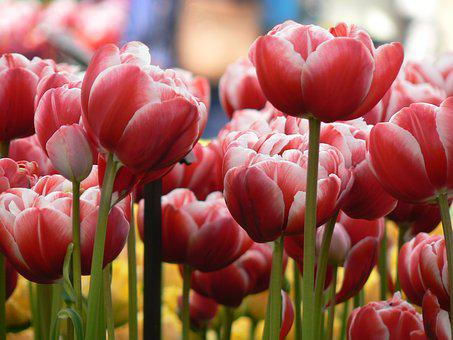 Tulips, Flowers, Nature, Garden, Plant, Spring, Floral