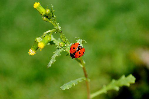 Nature, Insect, Leaf, Plant, Ladybug, Beetle, Flower