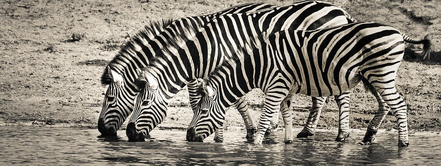 Zebra, Safari, Wildlife, Savanna, Nature, Monotone