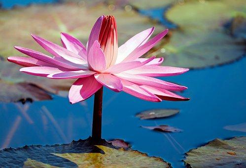 Water Lily, Flower, Aquatic Plant, Pond Plant
