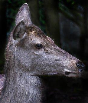 Red Deer, Doe, Portrait, Animal Portrait, Bald Wild