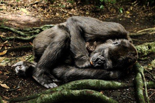 Mammal, Primate, Nature, Monkey, Animal World, Wild