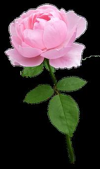 Rose, Stem, Pale Pink, Flower, Bloom