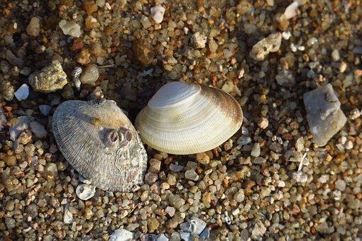Nature, Exoskeleton, Beach, Sha, Sea, Shell, Shellfish