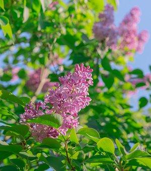 Lilac, Flowers, Spring, Petals, Purple, Plant, Nature