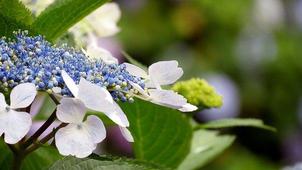 Nature, Flowers, Plants, Leaf, Summer, Hydrangea
